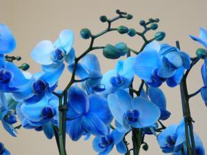 Kék orchidea 2