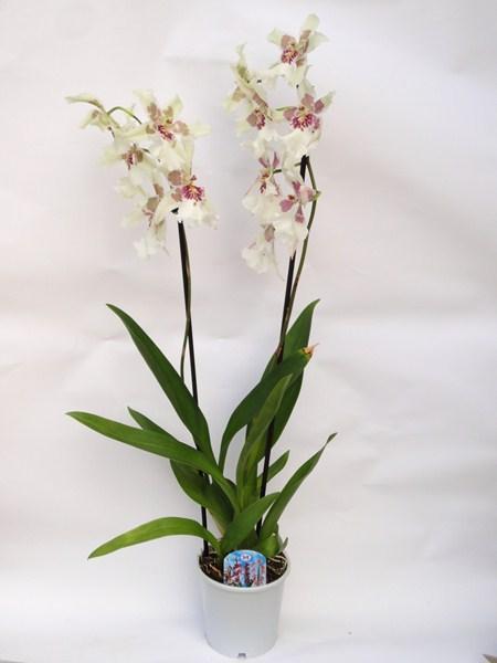 Cambria Orchidea Pictures: www.gopixpic.com/450/cambria-orchidea/http:||www*viragplaza*hu...