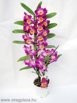 Vesszőkosbor, vesszőorchidea (Dendrobium sp.)