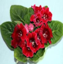 Gloxinia (Sinningia speciosa)