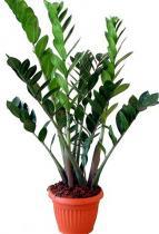 Legényvirág (Zamioculcas zamiifolia)