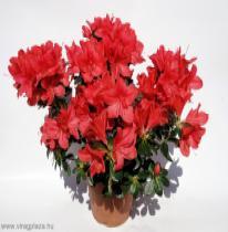Azálea (Rhododendron indicum)