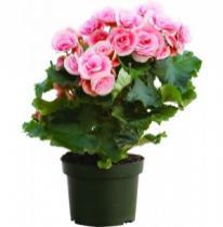 Begonia (Begonia elatior)
