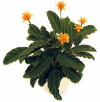 Sáfrányos zebralevél (Calathea crocata)
