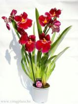 Árvácska orchidea (Miltonia )