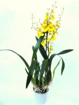 Lepkekosbor (Oncidium yellow)