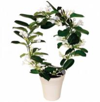 Koszorúfutóka  (Stephanotis floribunda)