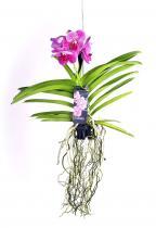 Pártáskosbor (Vanda orchidea)
