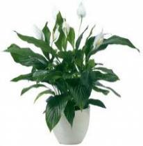 Vitorlavirág (Spathiphyllum wallisi)